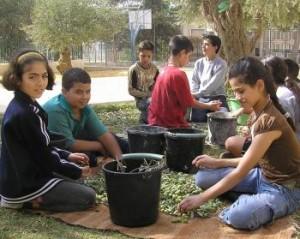 SIRA School - olives in Bethlehem